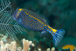 BD-130331-Tulamben-8552-Ostracion-meleagris.-Shaw.-1796-[Whitespotted-boxfish].jpg